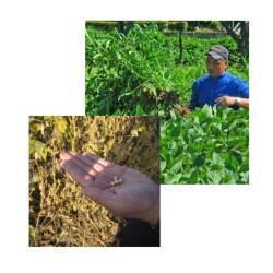 農薬を使わず大切に育てられる大豆